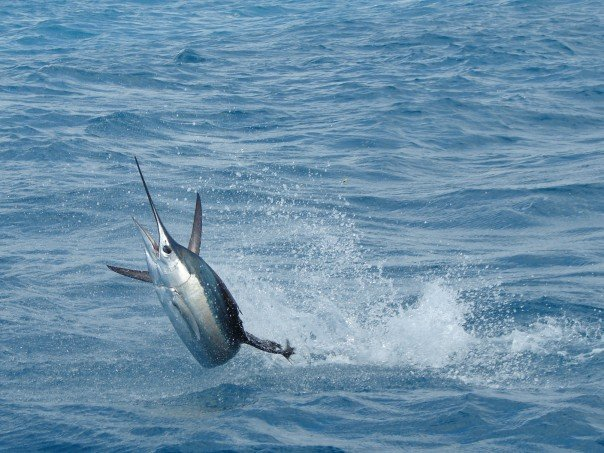 key west sailfish