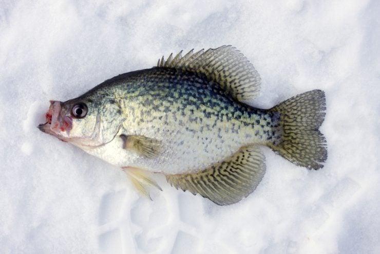 fishing lure darter Chubby