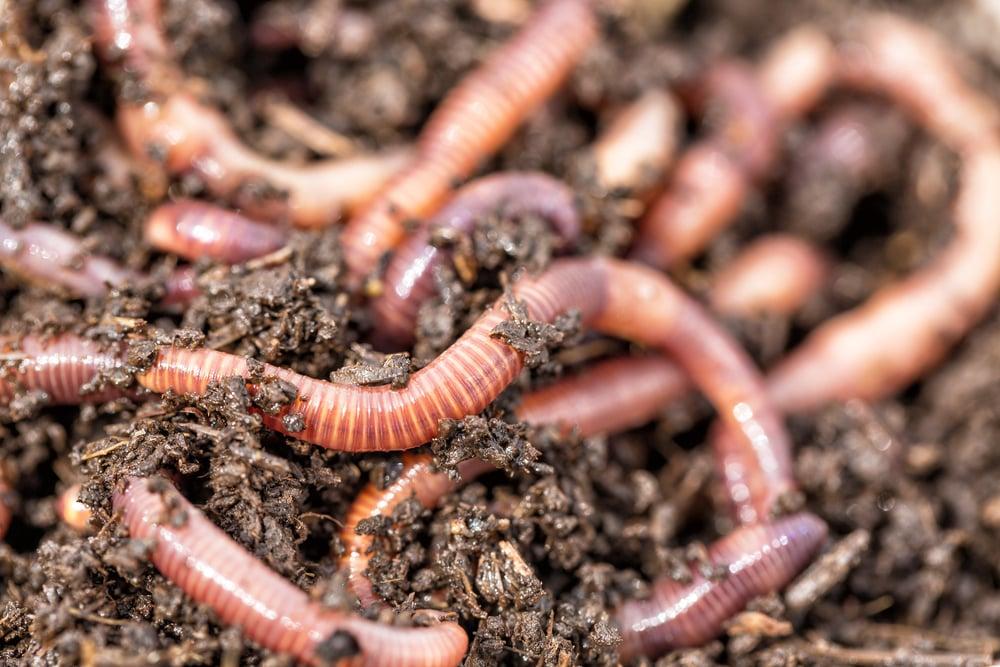 nightcrawler worms