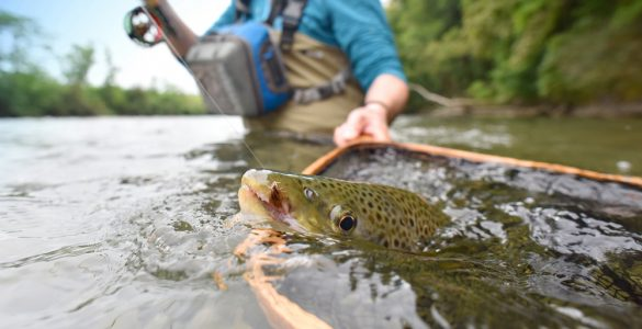 netting a brown trout