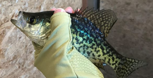 ice fishing glove holding crappie fish