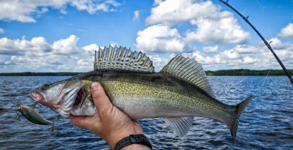 walleye fishing with lure