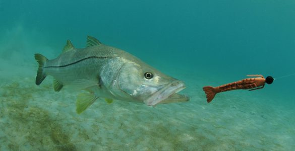 snook chasing a lure