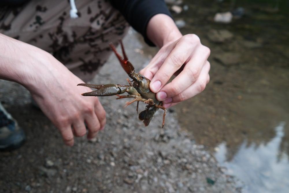 crayfish bait