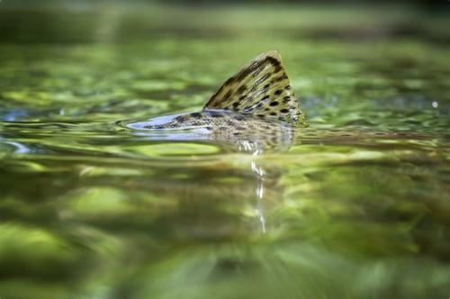 trout in eighteen mile creek