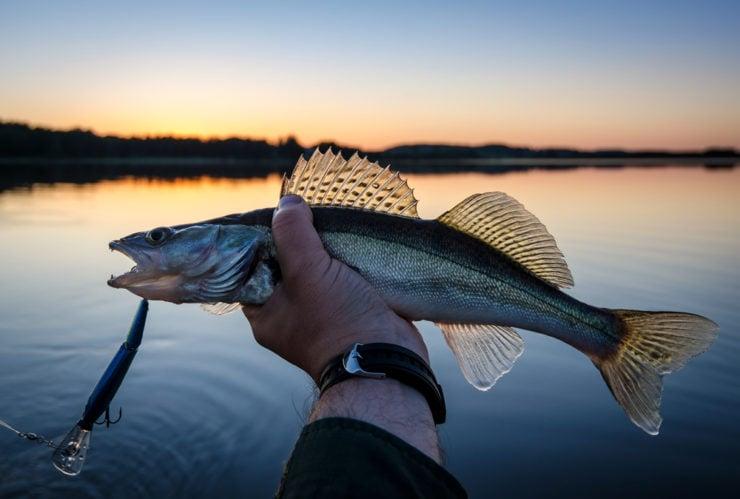 walleye caught on leech lake