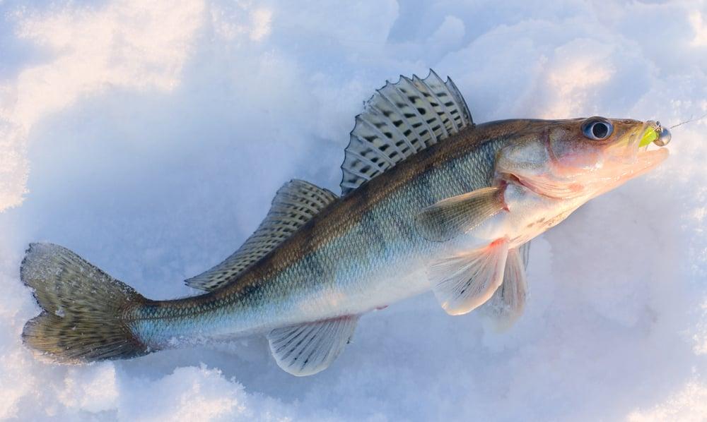 walleye ice fishing early season