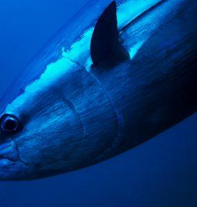 Bluefin Tuna Close Up Underwater