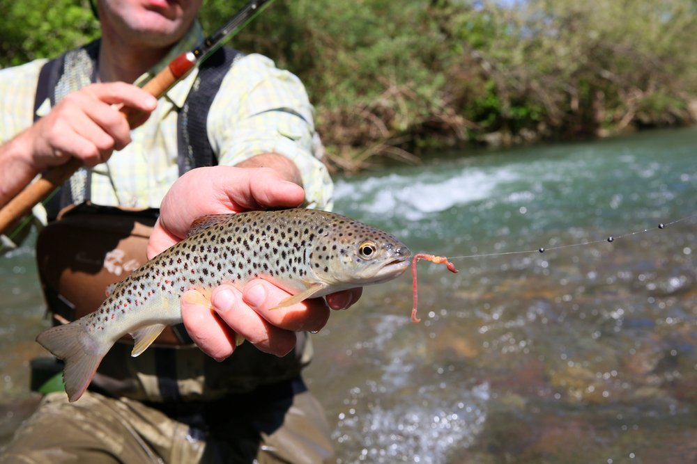 catching trout with worms