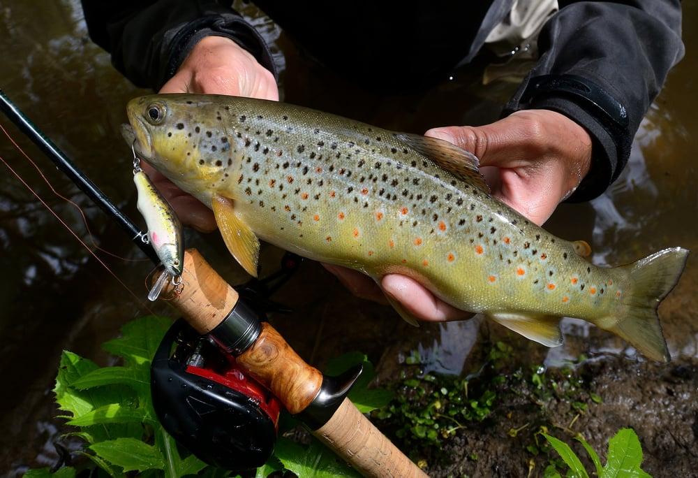 trout caught on a crankbait