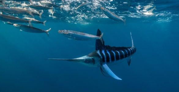 striped marlin swimming