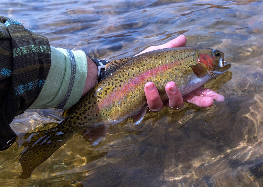 Rainbow Trout Caught & Released Fly Fishing On the Colorado River near Lees Ferry arizona