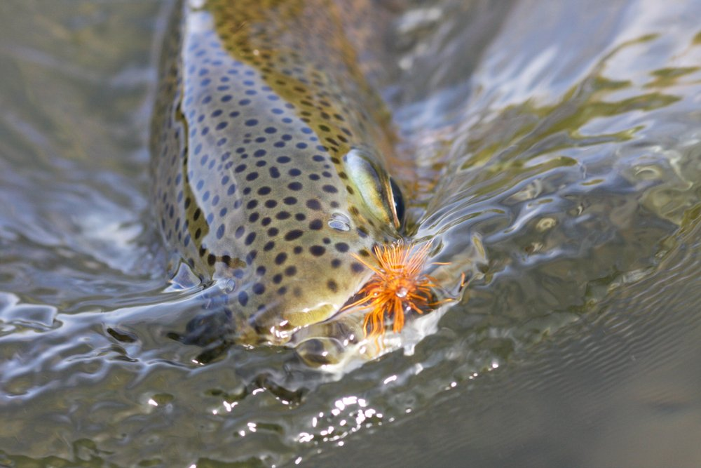 trout eating a fly