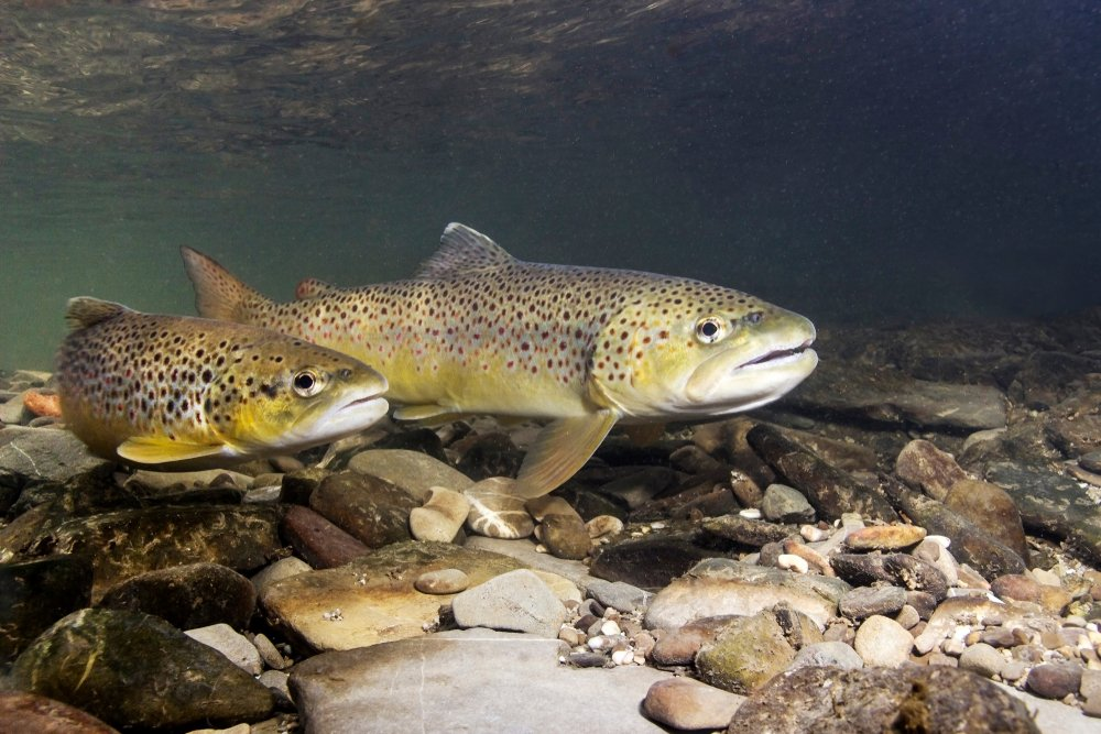 brown trout in a stream