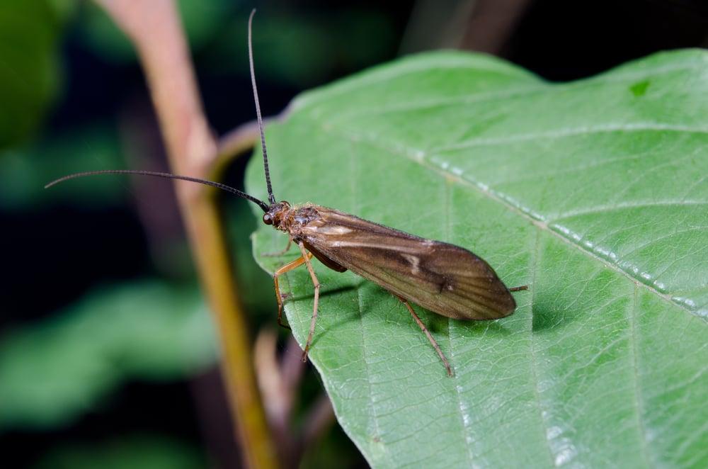 caddisfly on a leaf