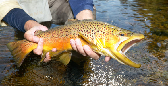catching a brown trout