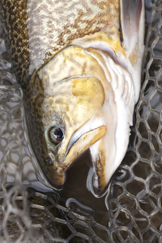 catching a tiger trout fish