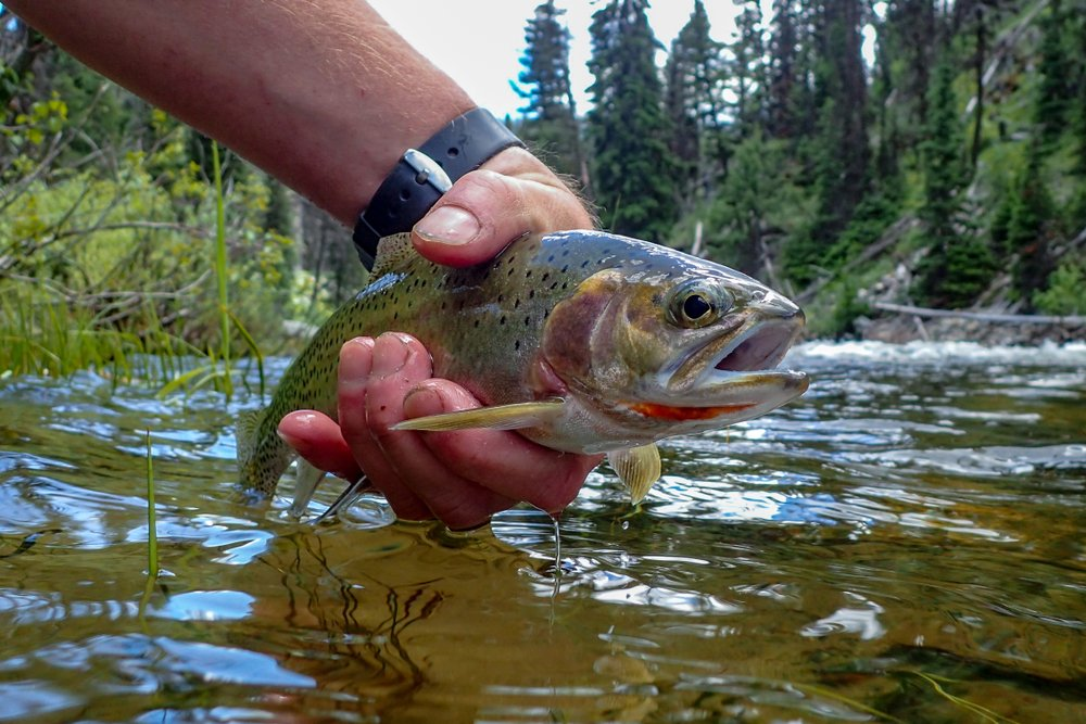 catching cutthroat trout