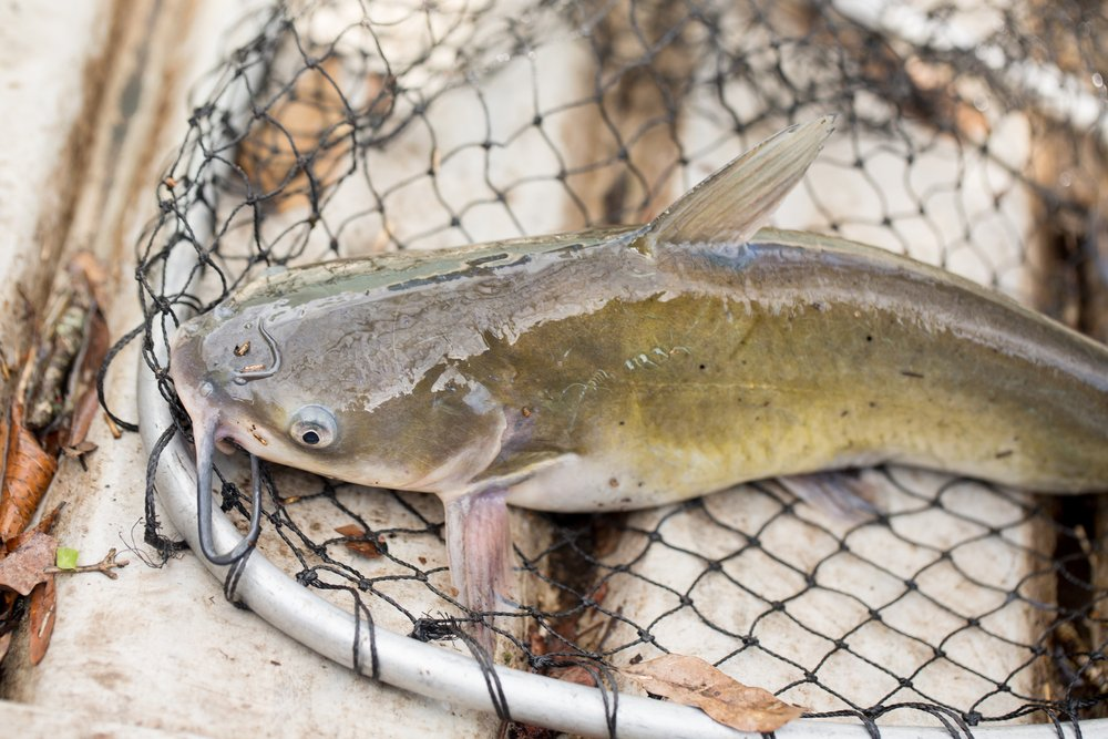 catfish in a net