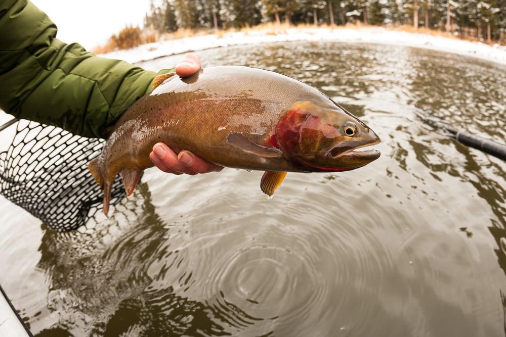 fishmerman catching a cutthroat