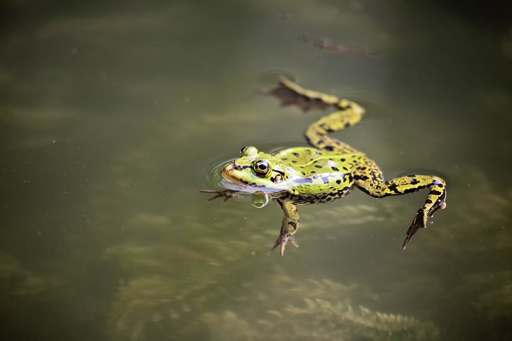 a frog swimming on the surface