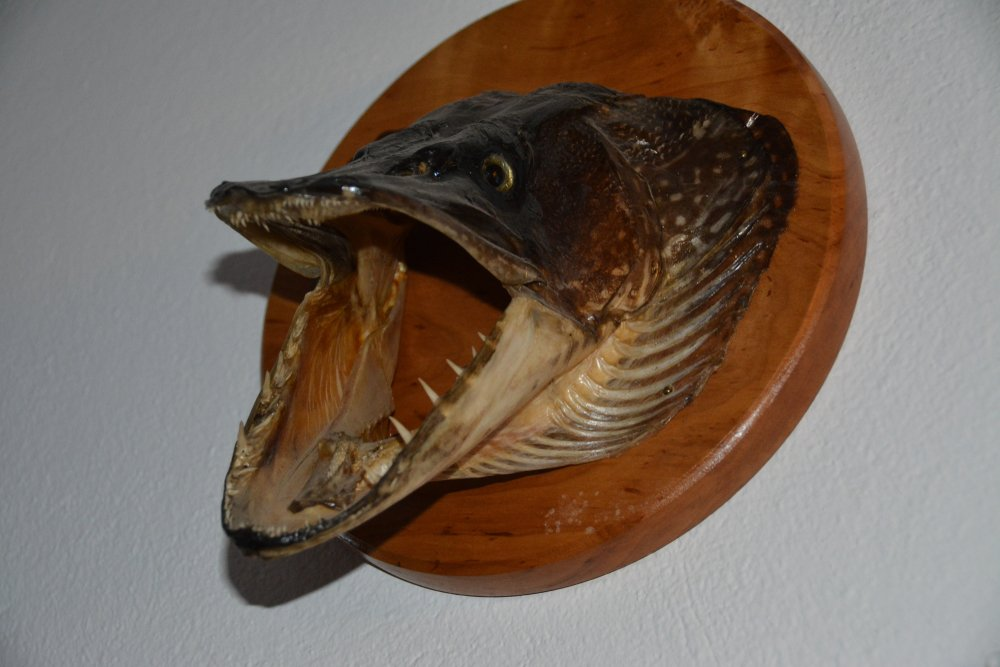 giant northern pike mouth with teeth