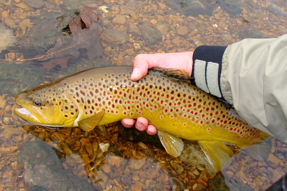 identifying brown trout