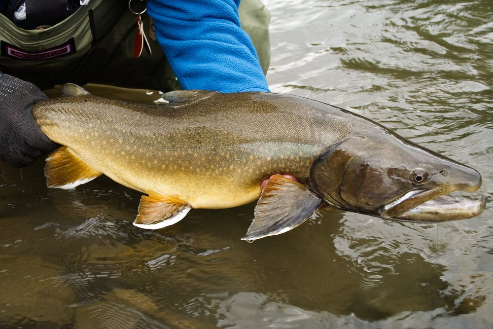 record size bull trout