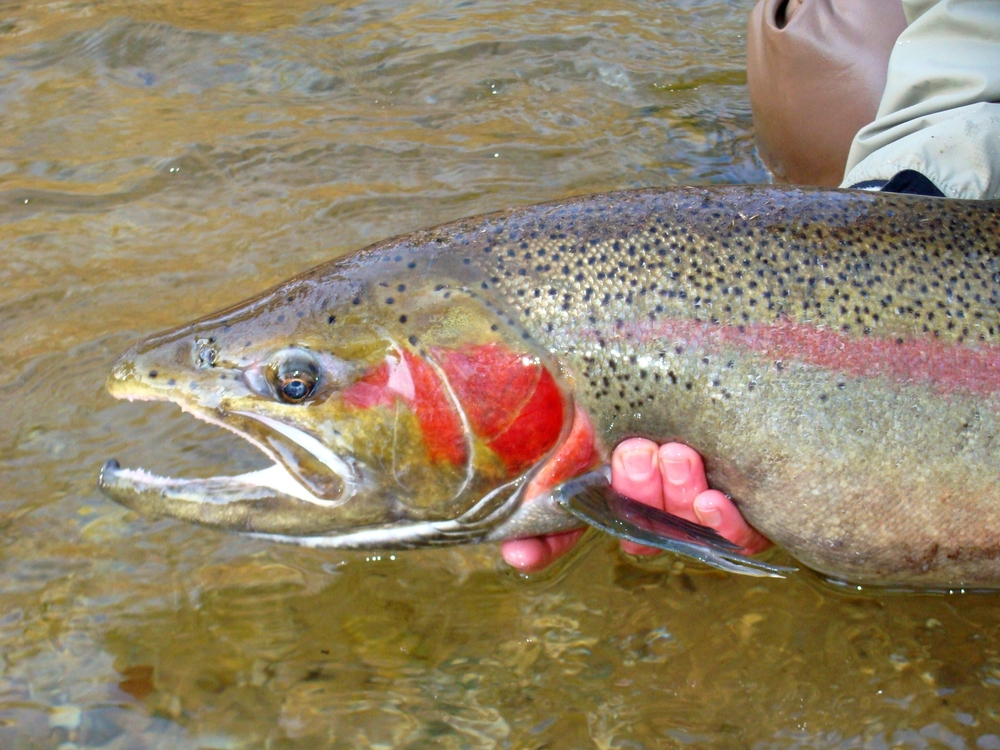 a large cutthroat trout
