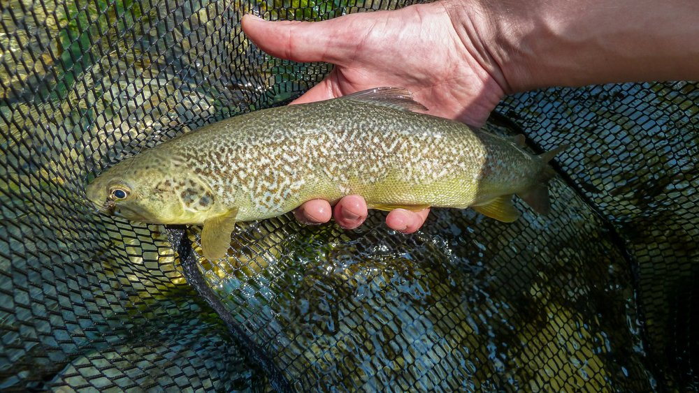 identifying marble trout patterns