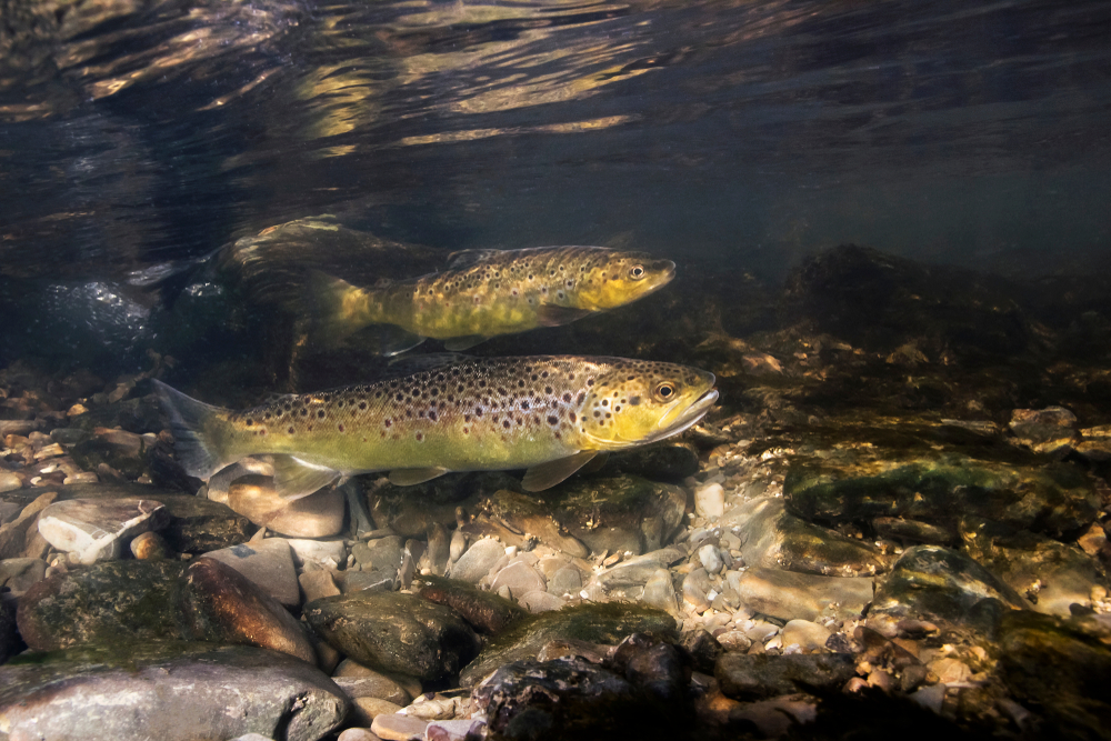 school of brown trout swimming up stream