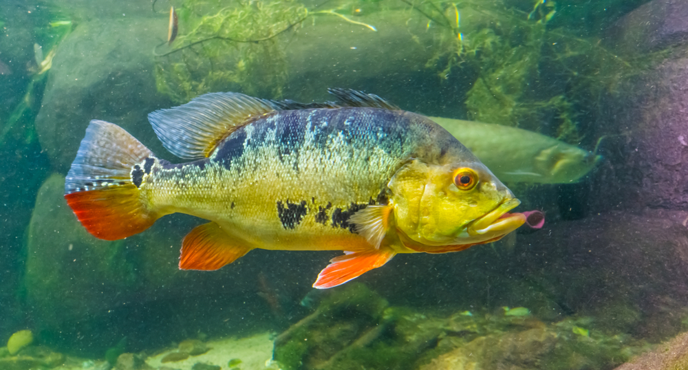 Peacock Bass swimming