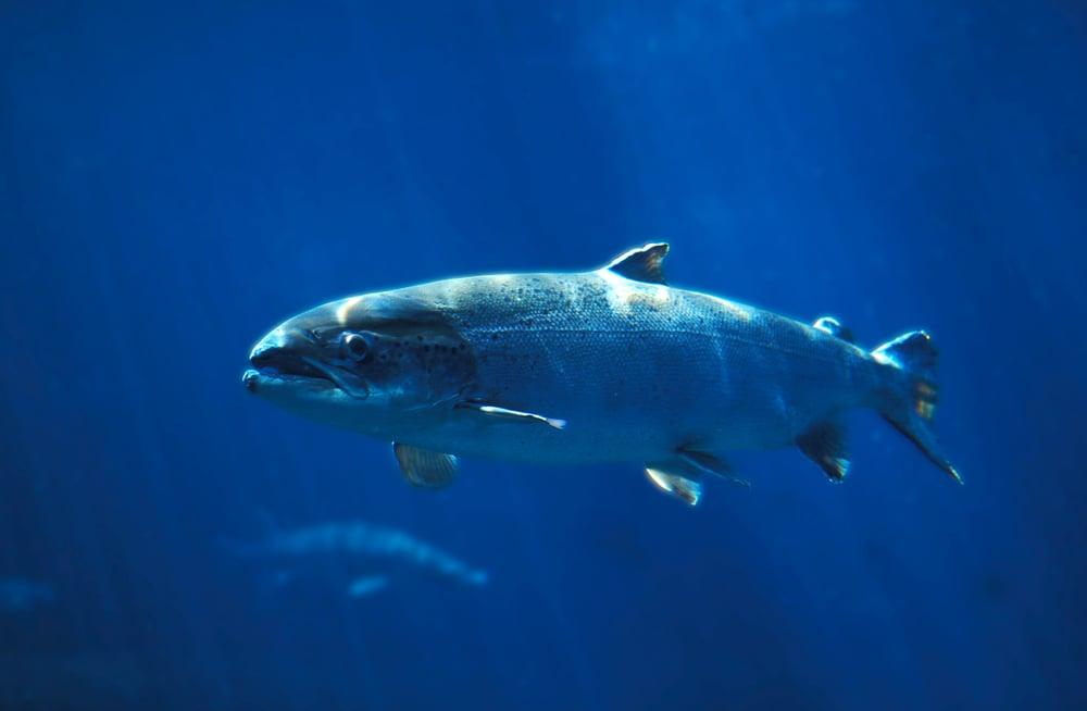atlantic salmon in the ocean