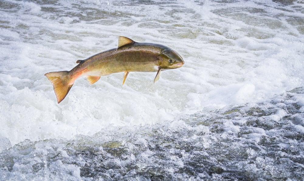 atlantic salmon jumping upstream