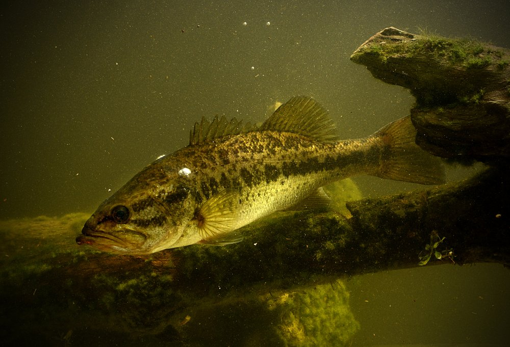 bass hiding under structure