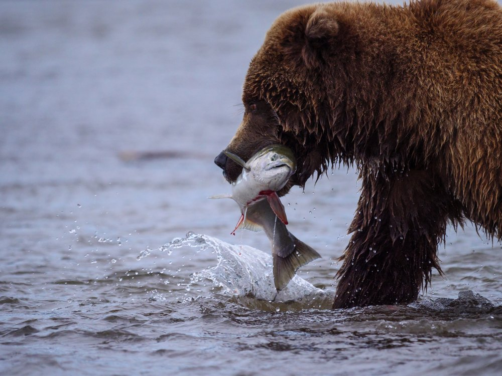 bear eating a silver salmon