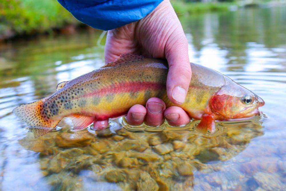 california golden trout