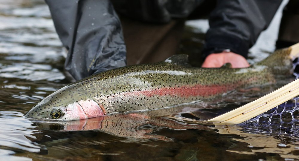 catching a rainbow trout
