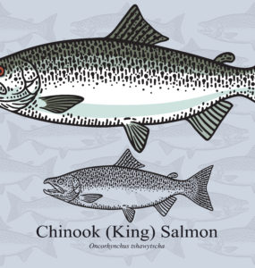 chinook salmon species