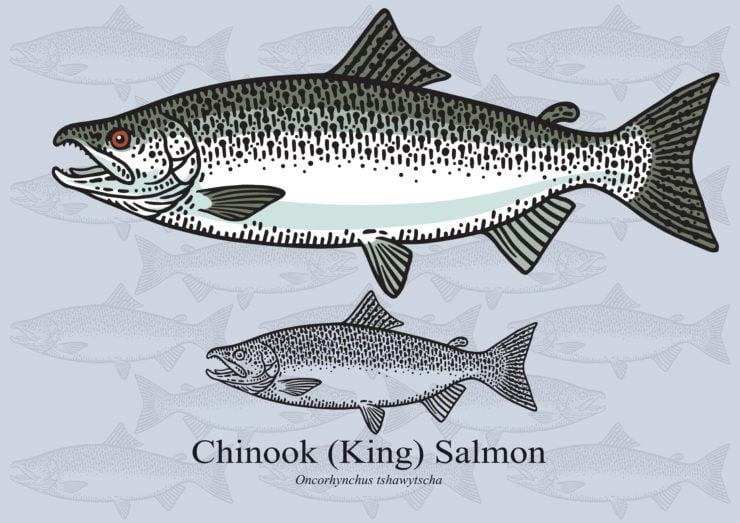 chinook salmon species