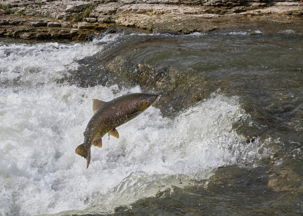 chinook salmon jumping