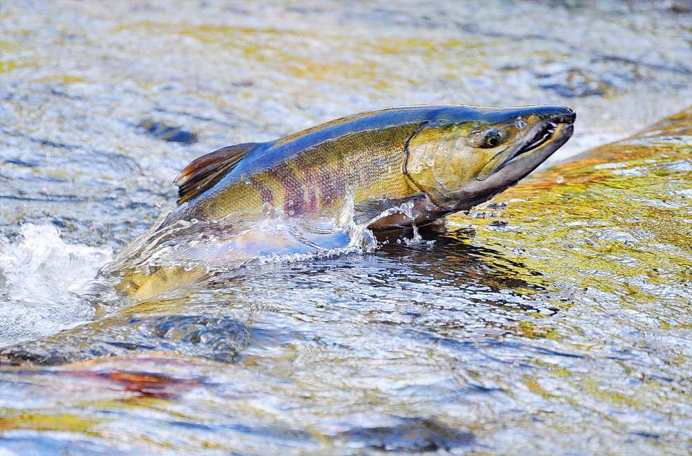 chum salmon jumping upstream