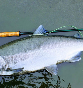 coho salmon caught with fly rod