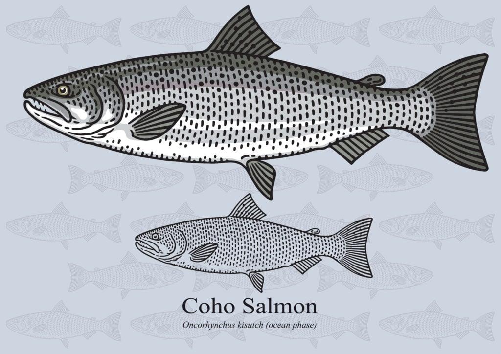 coho salmon species