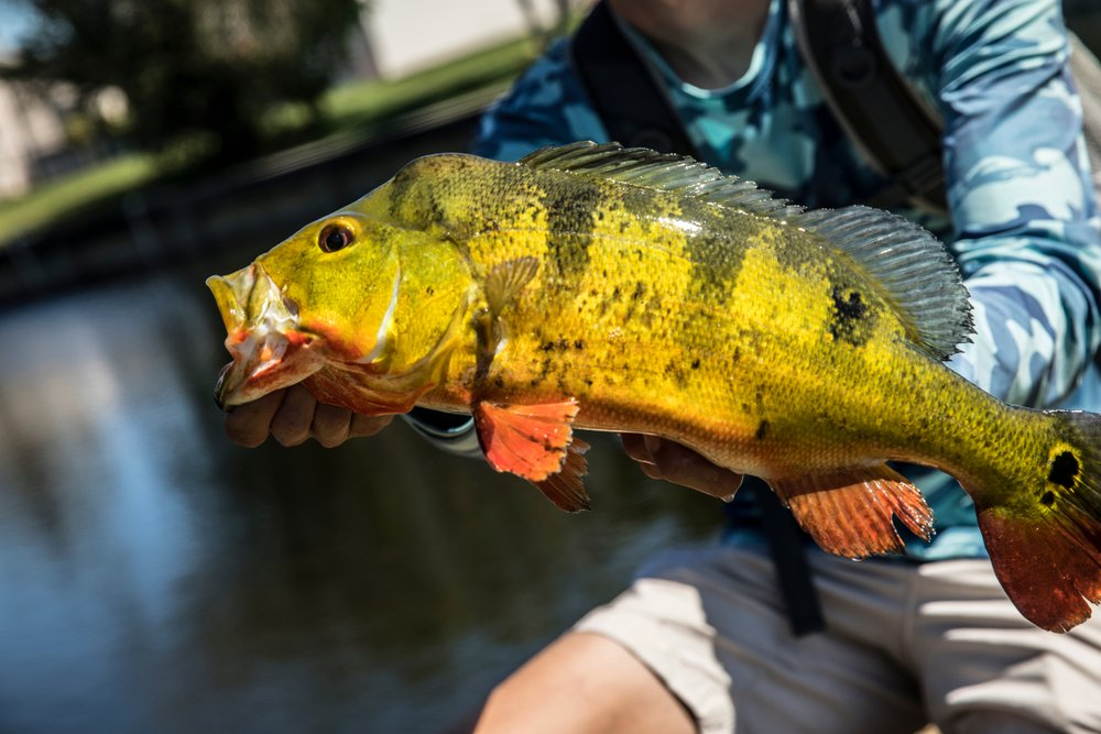 fisherman holding Peacock Bass