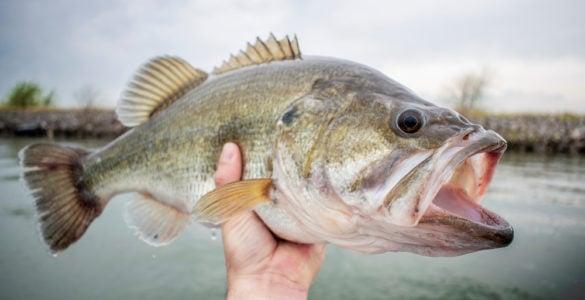 fisherman holding a largemouth bass