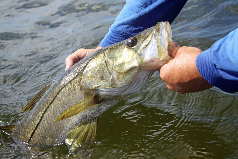 fisherman holding a snook