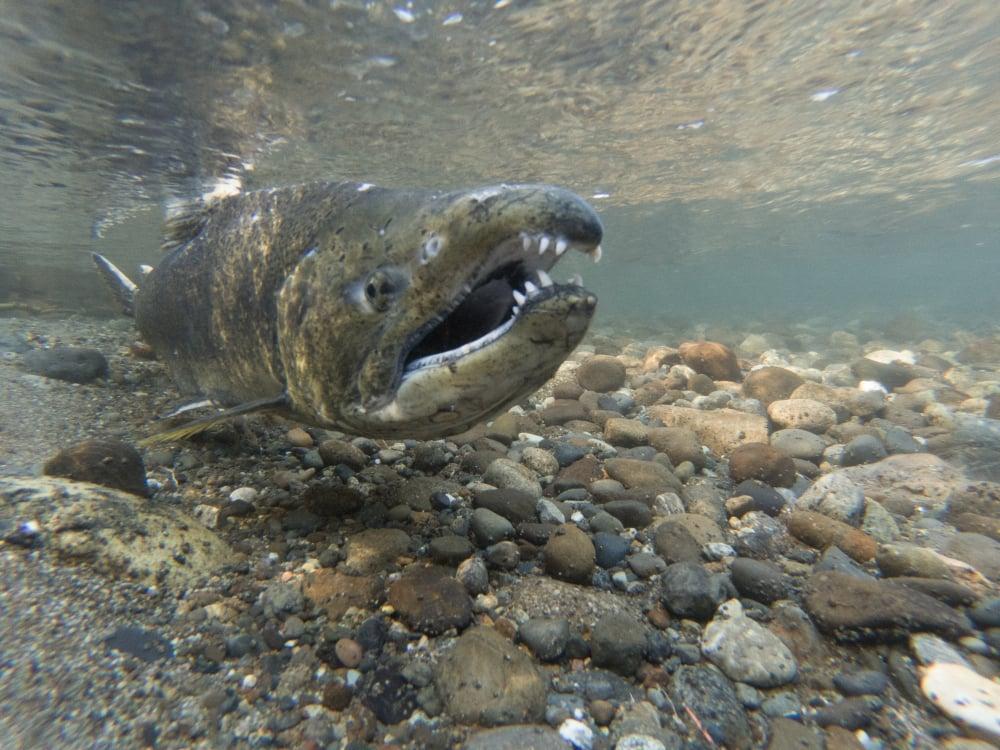 hook jaw king salmon