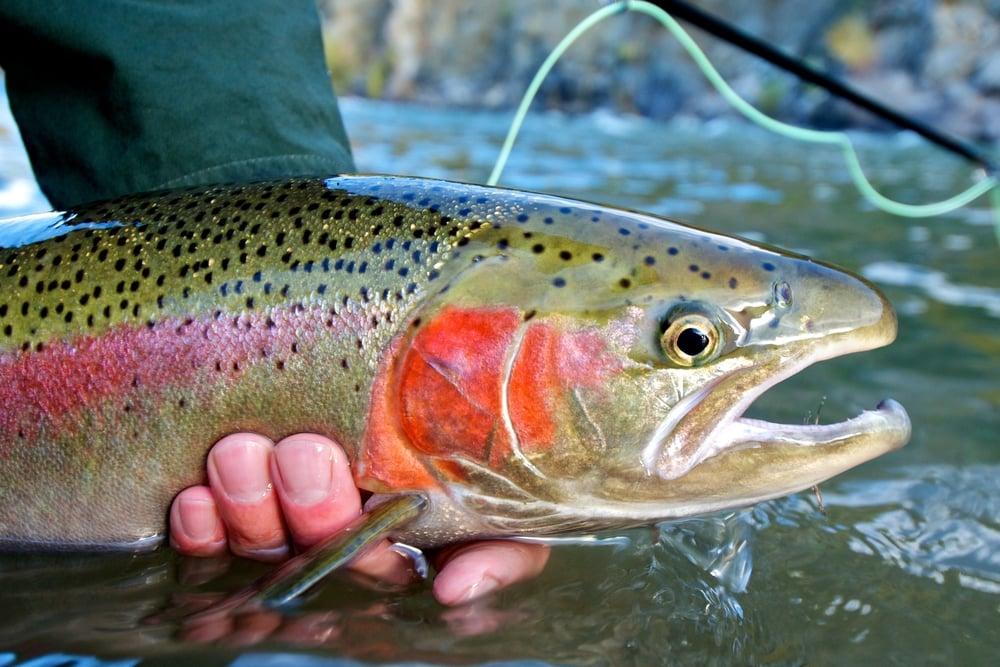 large rainbow trout