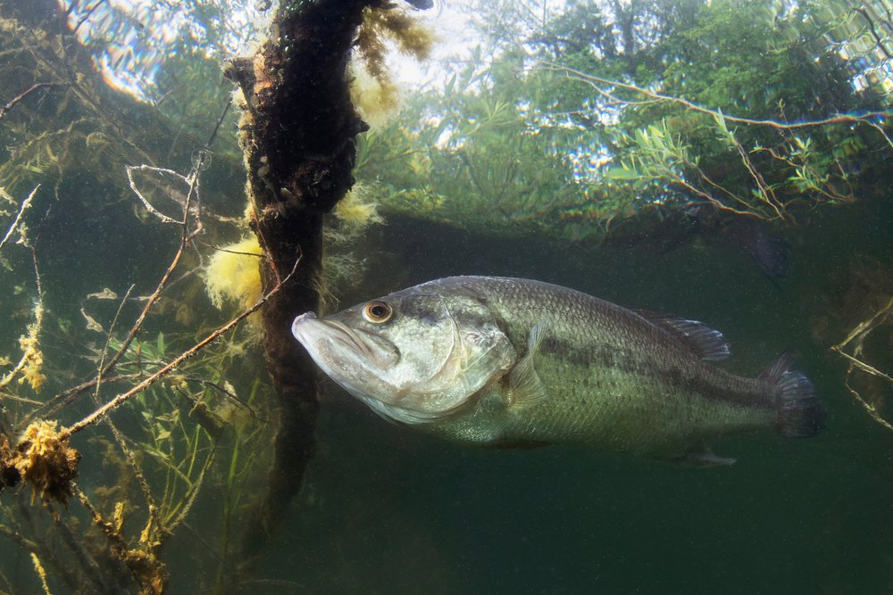 largemouth bass in a pond